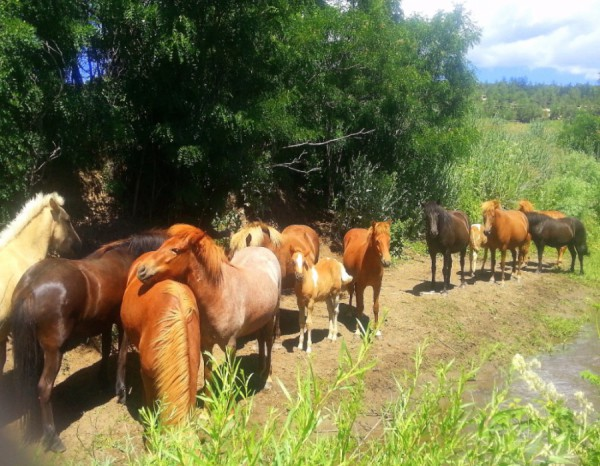 Icelandic Horses in Colorado